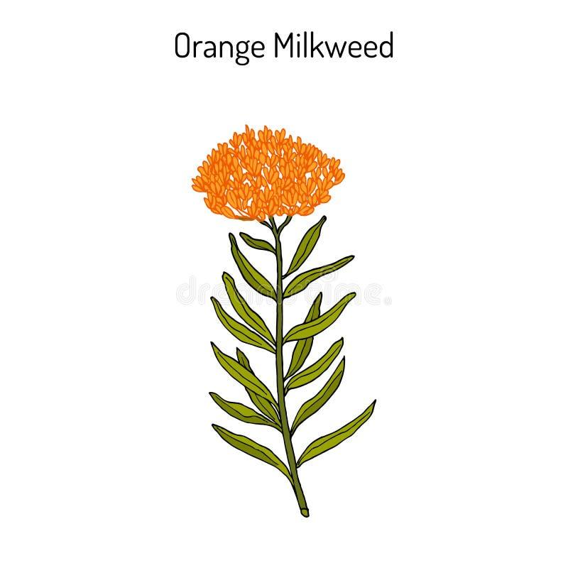 Tuberosa Asclepias оранжевого milkweed, лекарственное растение иллюстрация вектора