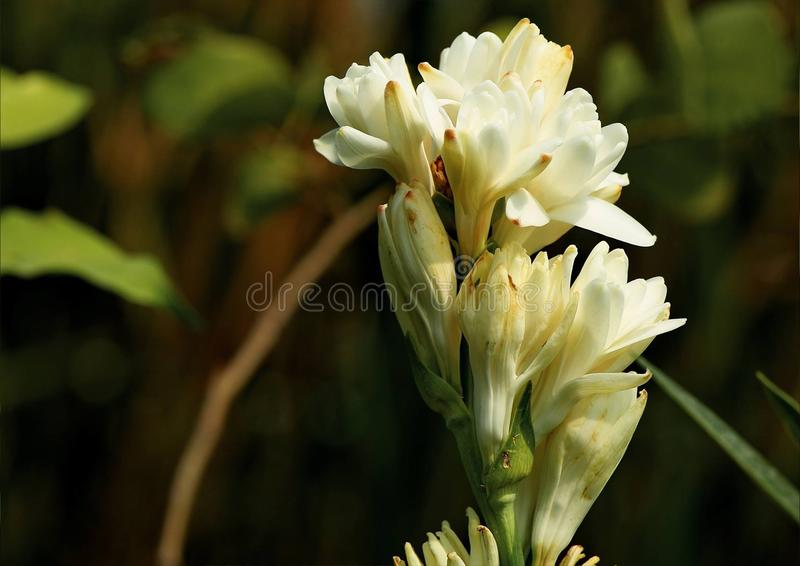 tuberose fotos de stock royalty free