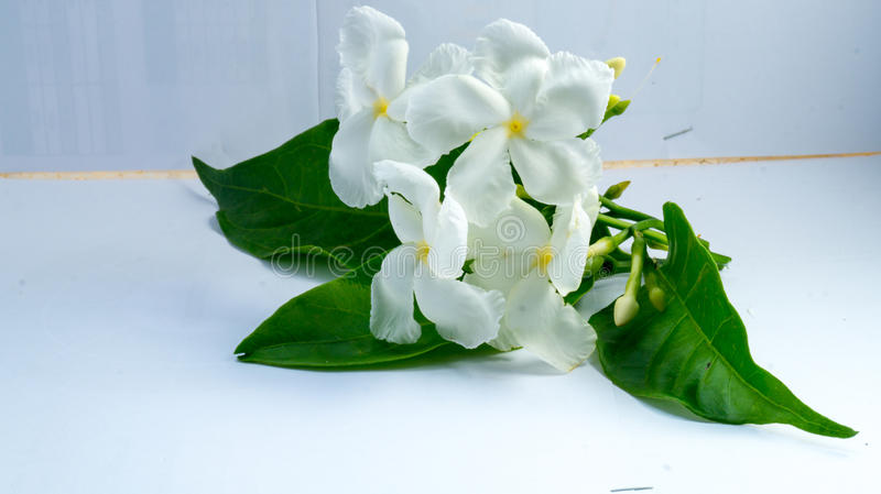 Tuberose kwiat obrazy royalty free