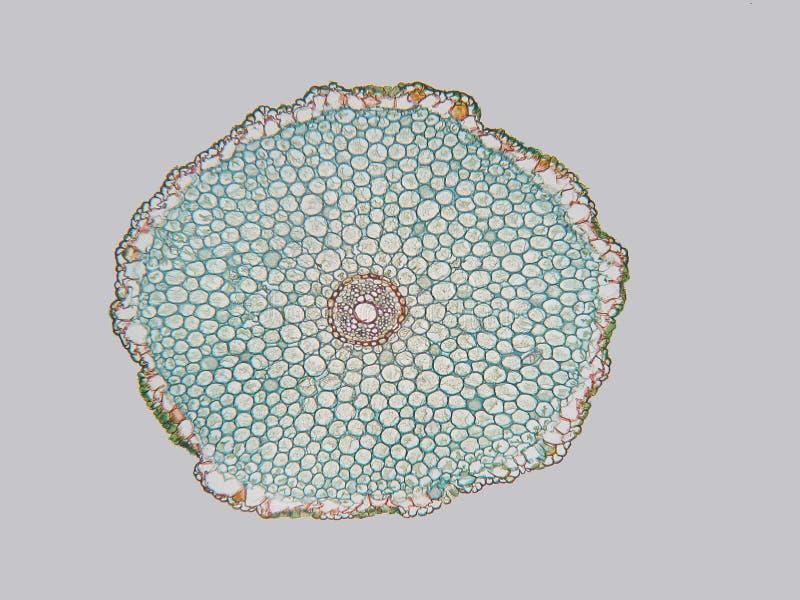Tuberosumwortel van het allium 40X stock foto's