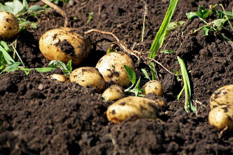 Tubers dug potatoes. stock images