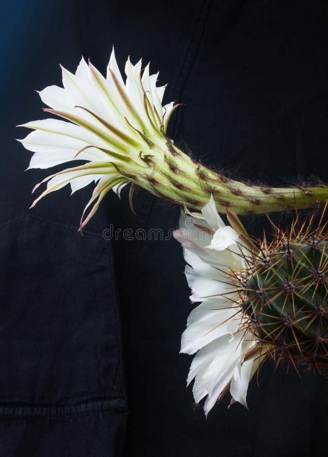 Tubiflora van cactusechinopsis, selectieve nadruk, sluit omhoog royalty-vrije stock foto