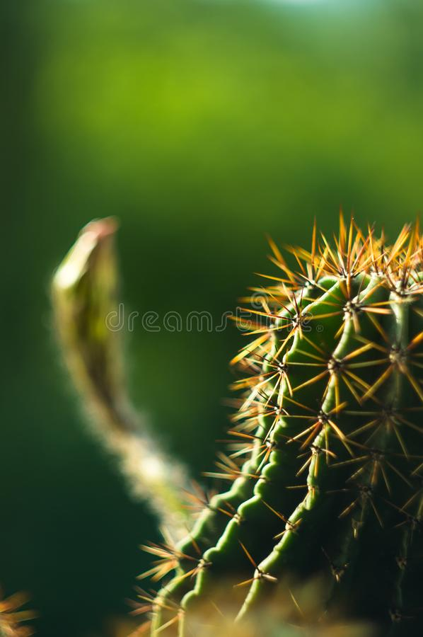 Tubiflora van cactusechinopsis, selectieve nadruk, sluit omhoog royalty-vrije stock fotografie