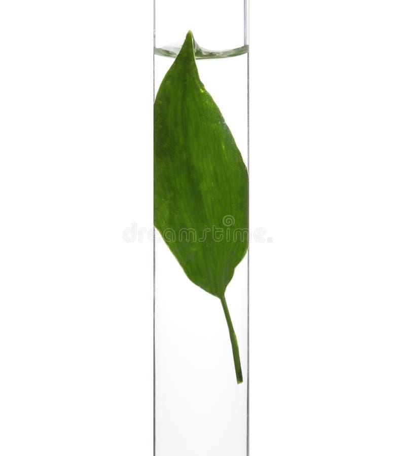 Tubo de ensaio com a folha no fundo branco, close up fotografia de stock