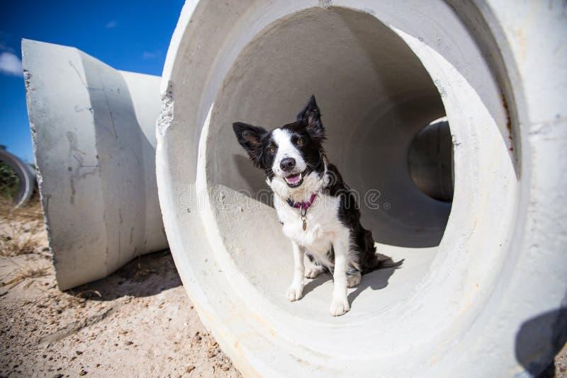 Tubo del border collie imágenes de archivo libres de regalías