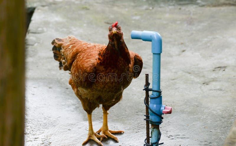 Tubo del pollo y de agua imagen de archivo