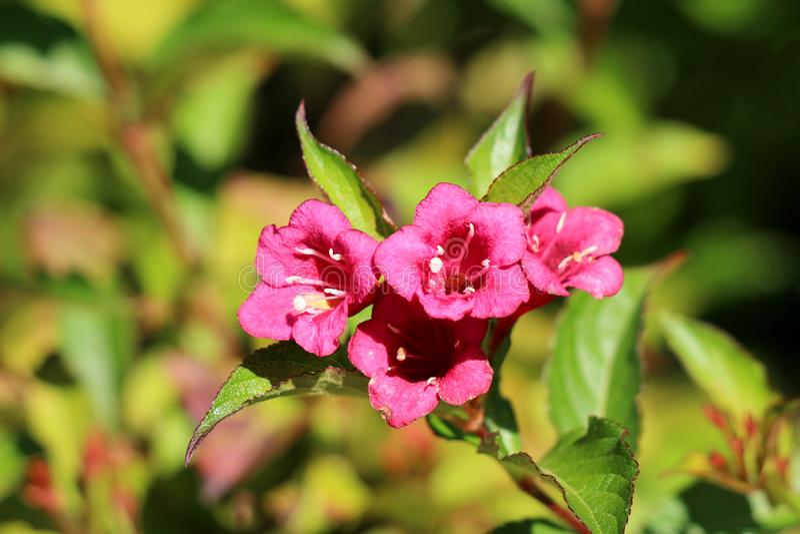 Tubo rosa-magenta del Weigela come i fiori con la corolla bianca lobata e le foglie a uovo-oblunghe su fondo verde chiaro fotografie stock