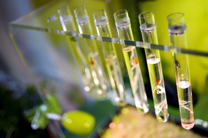 Tubos de ensaio com plantas dos brotos fotografia de stock royalty free