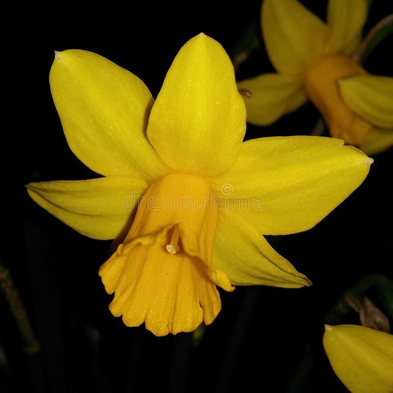 Tubowy daffodil obraz royalty free