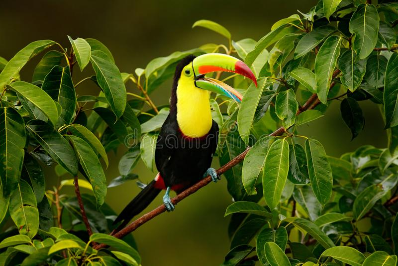Tucán que se sienta en la rama en el bosque, Boca Tapada, vegetación verde, Costa Rica Viaje de la naturaleza en America Central  fotos de archivo