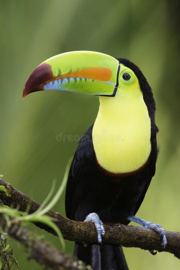tucán Quilla-cargado en cuenta (sulfuratus) de Ramphastos, Costa Rica fotos de archivo libres de regalías