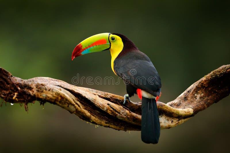 tucán Quilla-cargado en cuenta, sulfuratus de Ramphastos, pájaro con la cuenta grande Tucán que se sienta en la rama en el bosque