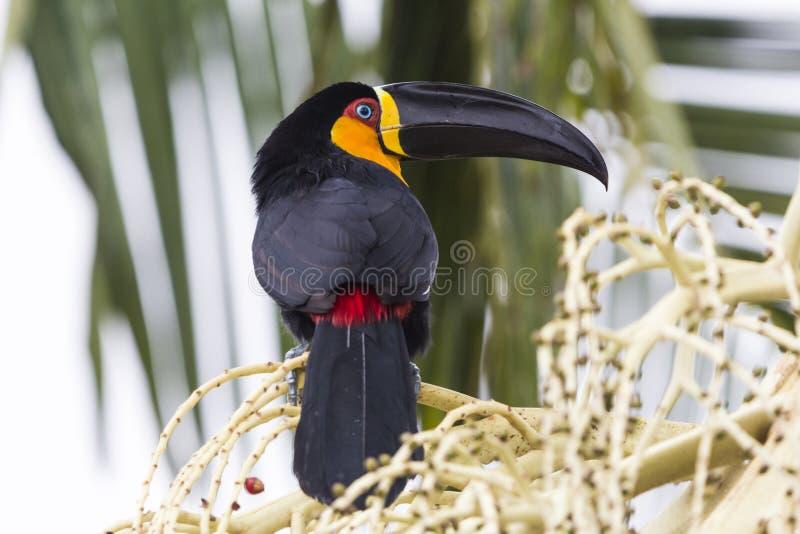 Tucan op thr tak wordt neergestreken die stock foto