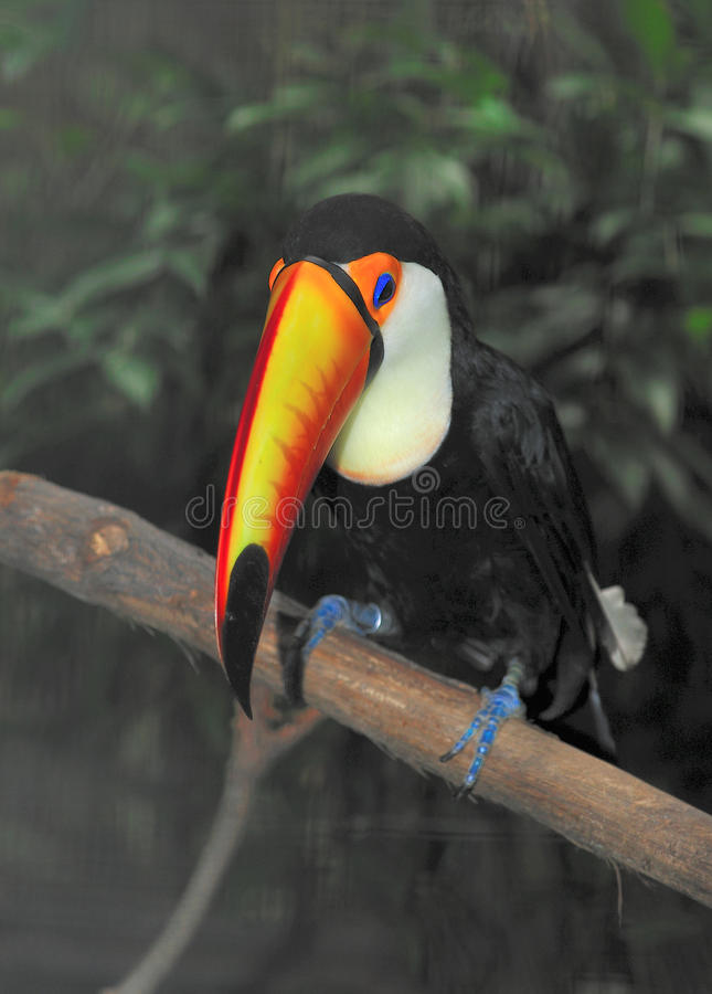 Tucano 2 royalty free stock images