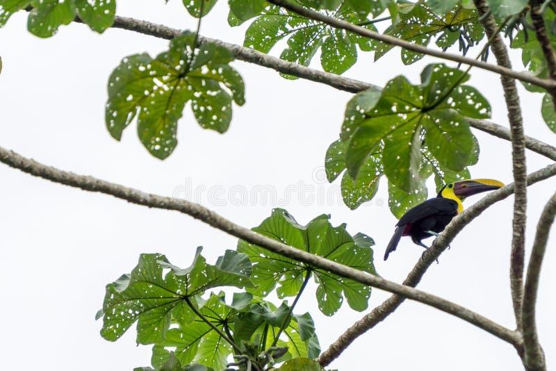 Tucano di Mandibled della castagna in selvaggio - parco nazionale di Corcovado, Costa Rica immagini stock libere da diritti