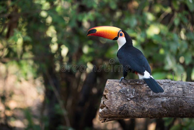 Tucano di Toco nel profilo sul ceppo segato fotografie stock libere da diritti