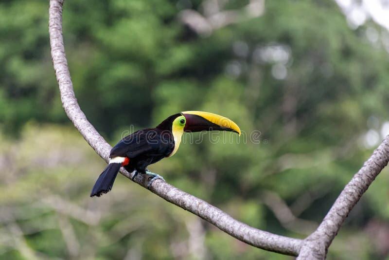 Tucano nei rami di un albero immagine stock libera da diritti
