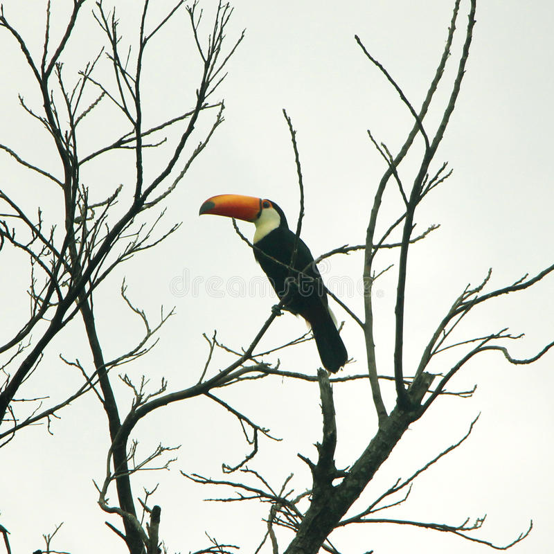 Tucano - oiseau brésilien images libres de droits