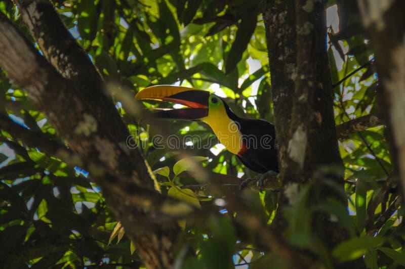 Tucano in Osa Peninsula, Costa Rica fotografie stock libere da diritti