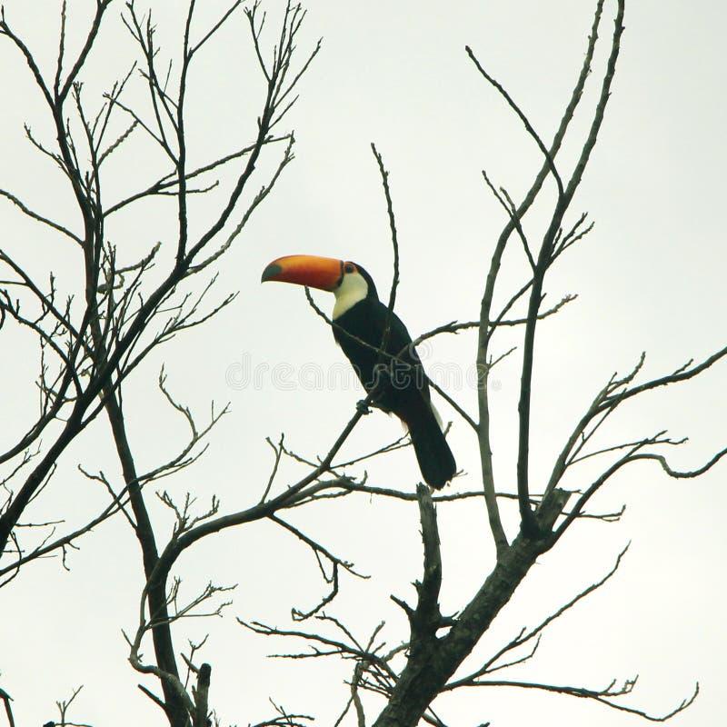 Tucano - pássaro brasileiro imagens de stock royalty free