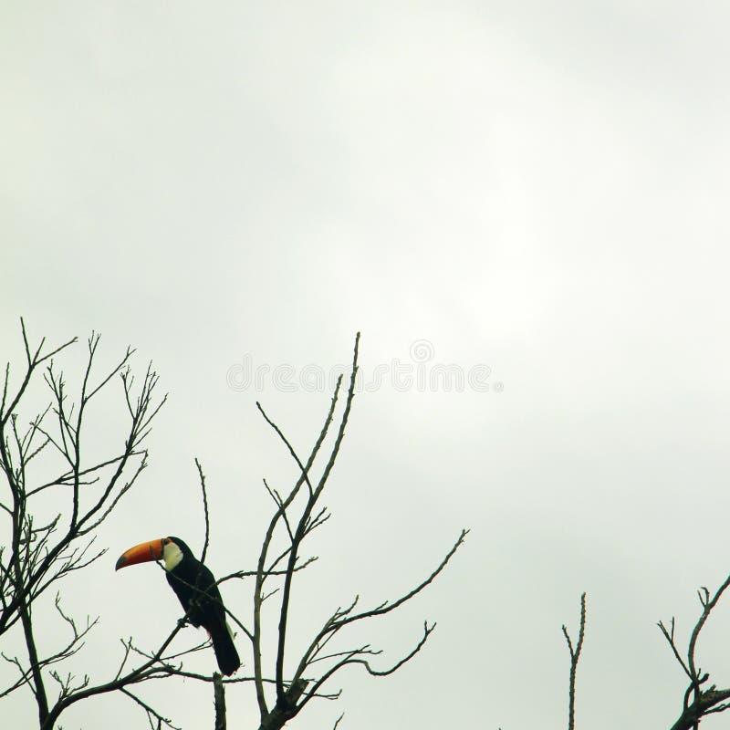 Tucano 2 - pássaro brasileiro imagens de stock
