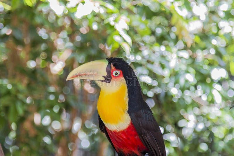 Tucano, Parque DAS Aves, Foz font Iguacu, Brésil image stock
