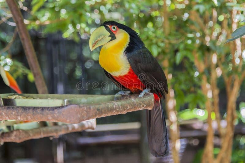 Tucano, Parque DAS Aves, Foz font Iguacu, Brésil photo stock
