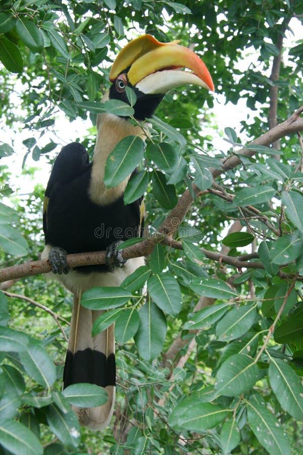 Tucano tropicale del bucero dell'uccello su un ramo con le foglie verdi, con il grande becco colourful in zoo all'aperto naturale fotografia stock