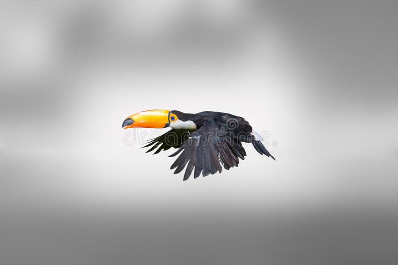Tucano, um pássaro tropical imagem de stock