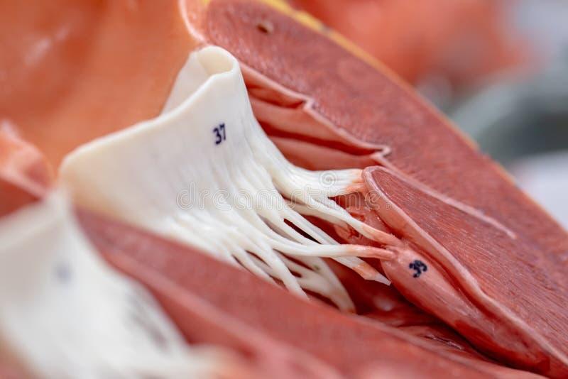 ?tudiant apprenant le coeur de porc cru d'anatomie pour l'?ducation photo stock