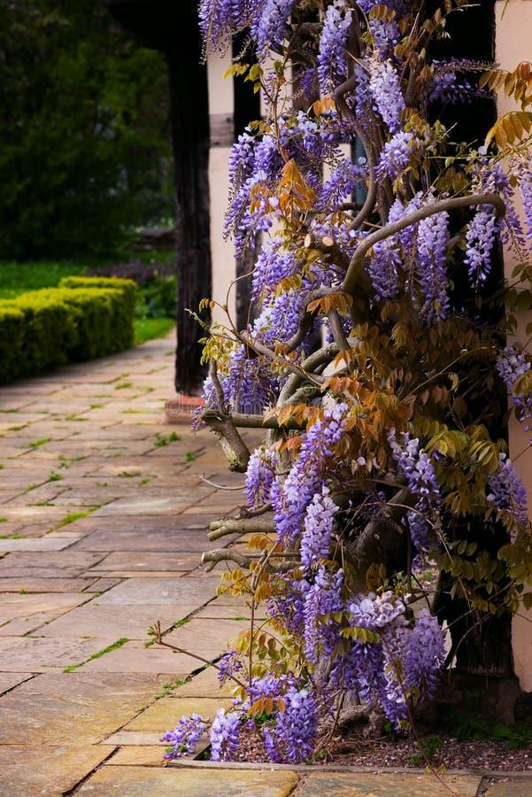 Tudor antikisieren Eingangsglyzinieschnurrebdekorative Baumblume Großbritannien Birmingham Haus Blakesley Hall stockbild