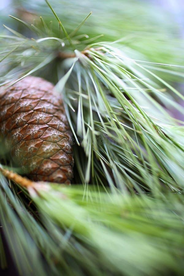 Tuercas de pino con la ramificación de árbol de pino imagen de archivo