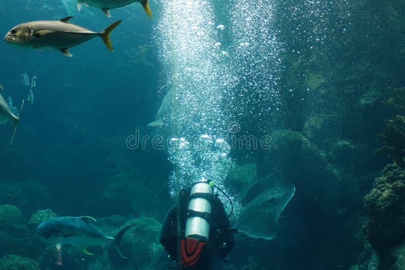 Tuffatore che galleggia nell'acquario immagine stock