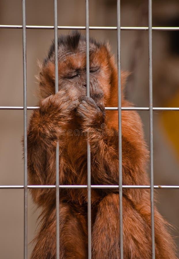 Tuffed capucin. Capture at a zoo park stock photos