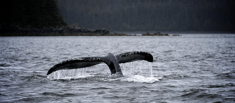 Tuffo della balena immagini stock libere da diritti