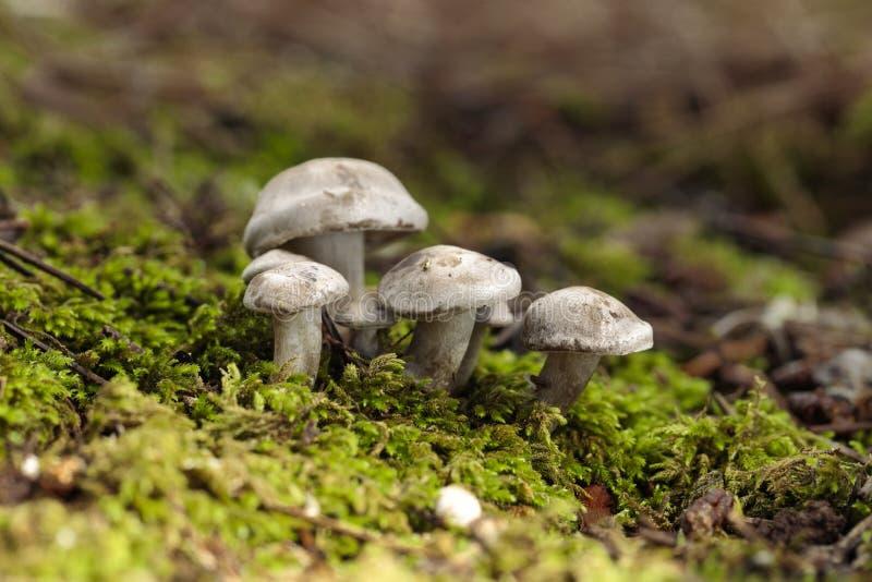 Tuft of Atractosporocybe inornata fungus. Growing in moss in pine needle litter in autumn. Buskett, Malta, Mediterranean royalty free stock photos