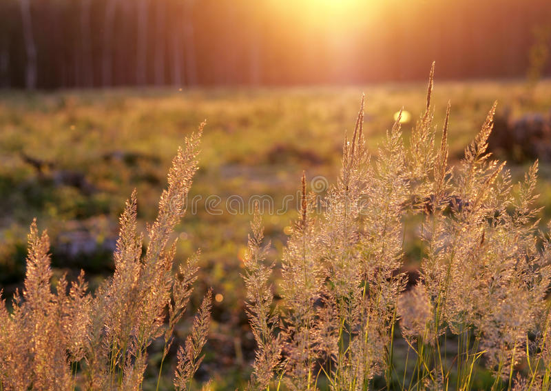 Tuft grass Calamagrostis epigeios on a sunset. Tuft grass Calamagrostis epigeios on a sunset on the grass background royalty free stock photography