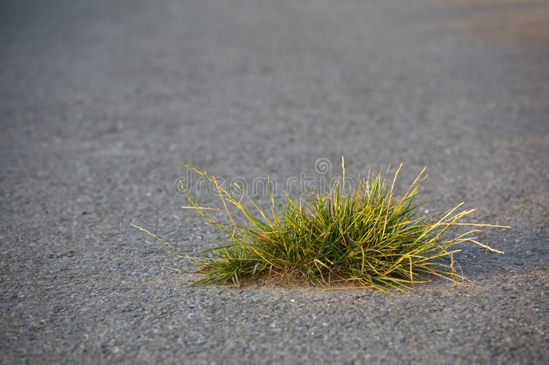 Tuft Of Grass On Road. A little tuft of grass breaking the road surface. Selective focus and warm evening light stock photos