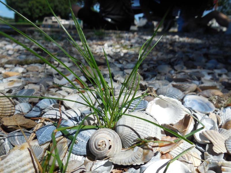 Tuft of Grass Among Shells. Tuft of grass sprouting between collection of shells stock images