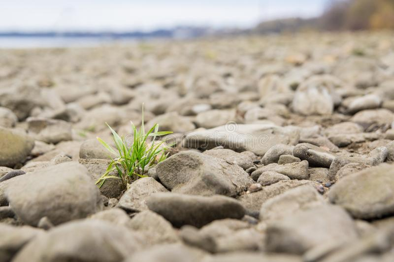 A tuft of grass between stones in the riverbed. The Rhine shore on a cloudy winter day royalty free stock photos