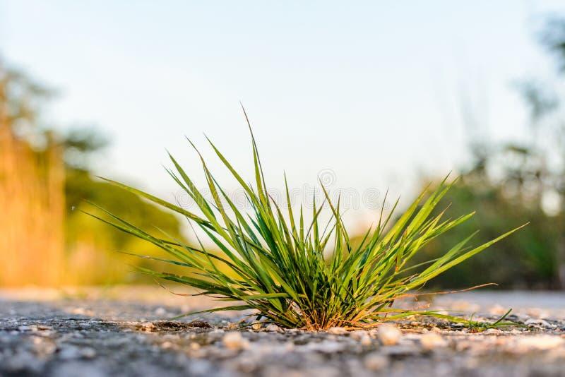 A tuft of grass. On a stony lane stock photo