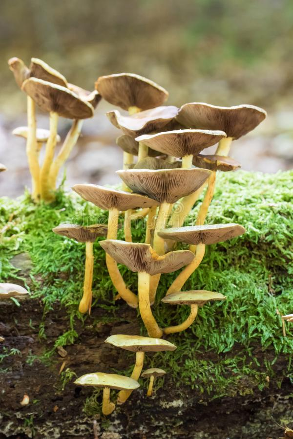 Tuft of mushrooms on a trunk. With sphagnum moss stock photo