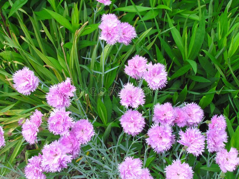 Tuft small pink carnations in green leaves, unpretentious garden plant, other names clove pink, gillyflower, botanical stock photo