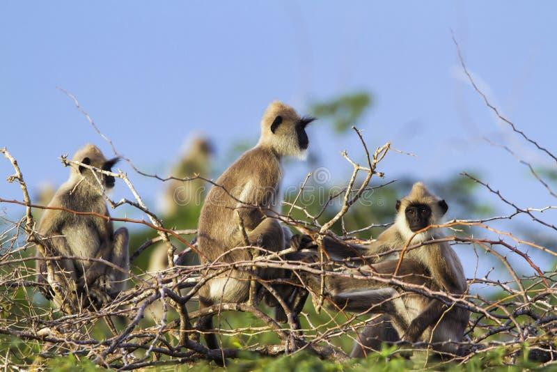 Tufted серый langur в национальном парке Bundala, Шри-Ланке стоковые фото