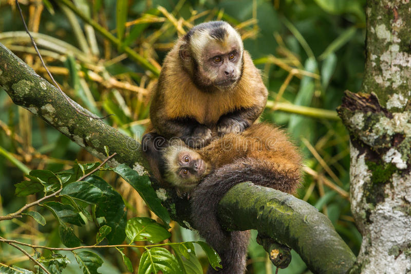 Tufted Capuchin stock foto