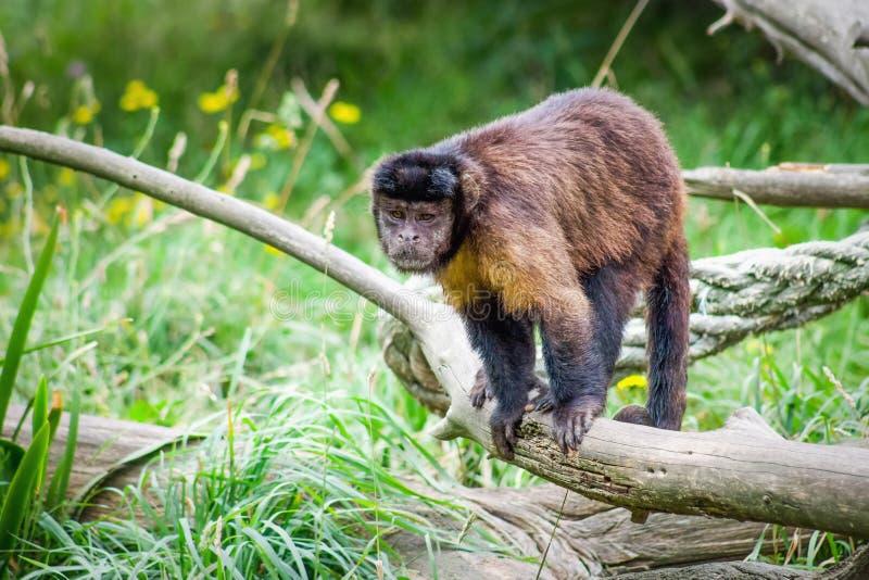 Tufted Capuchin Aap als bruine capuchin wordt bekend die ook stock afbeelding