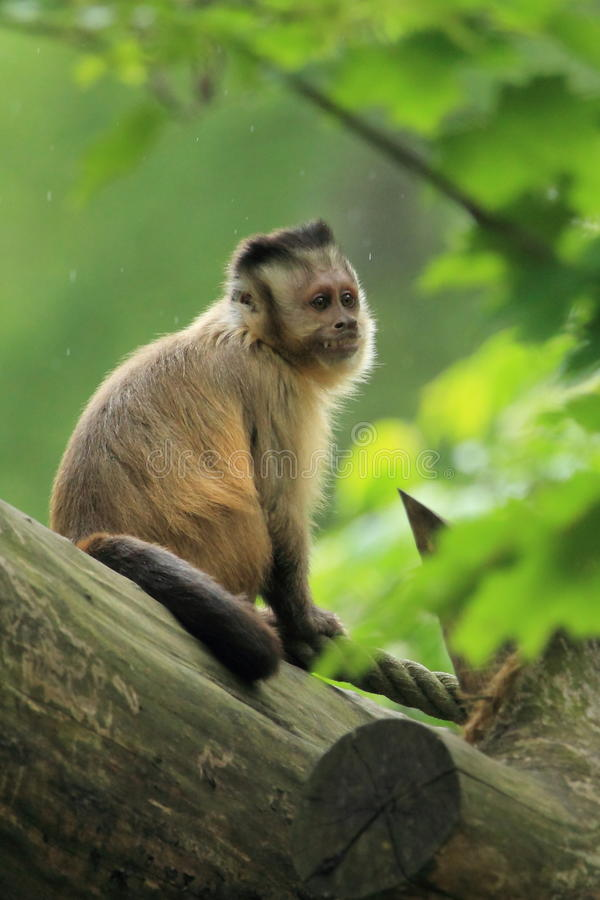 Tufted capuchin royalty free stock photo