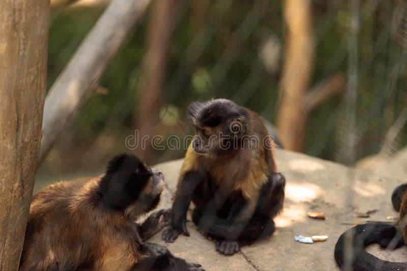 Tufted capuchin monkey of the genus Cebus apella apella. Sits in on a tree branch and eats stock photo