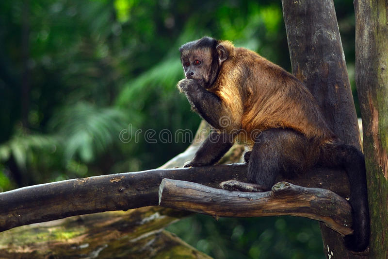 Tufted capuchin monkey. Is a New World monkey species living in Amazonia royalty free stock image