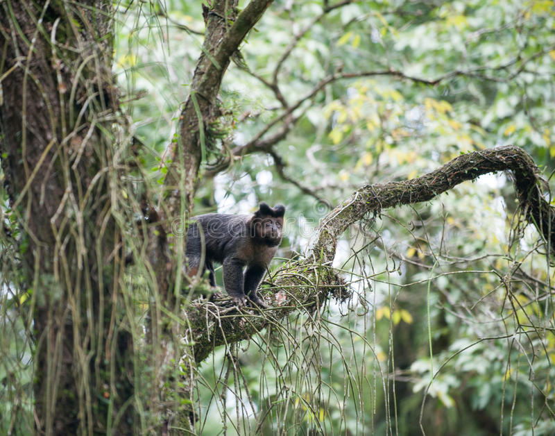 Tufted Capuchin in a tree stock photos